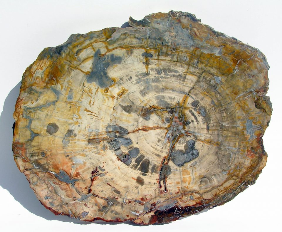 Ancient Wonders - Fossil wood beautiful 54cm